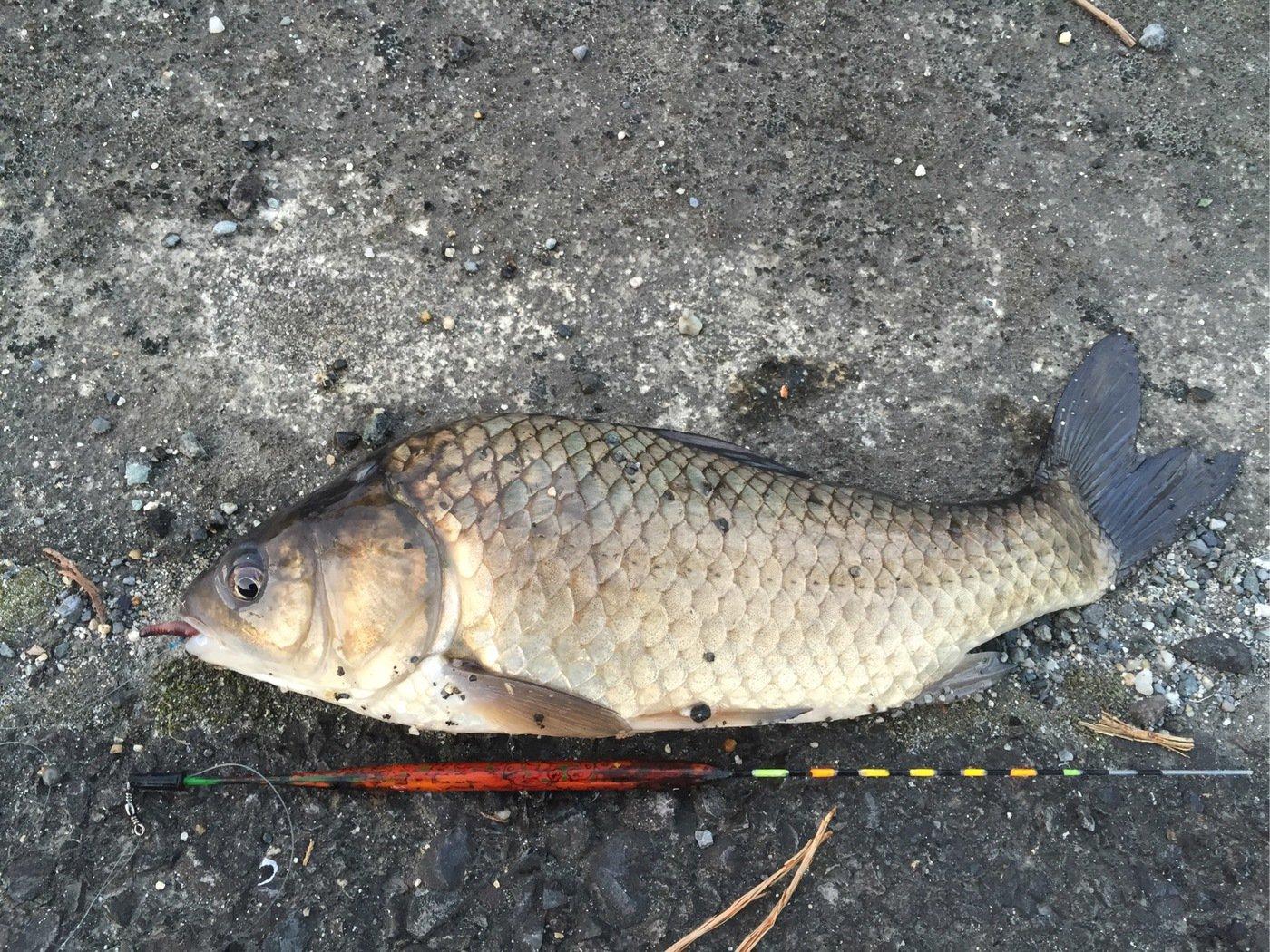 sJimさんの投稿画像,写っている魚はヘラブナ