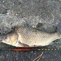 sJimさんの佐賀県佐賀市でのヘラブナの釣果写真