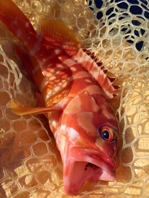 豚猫さくら2さんの投稿画像,写っている魚はアオハタ