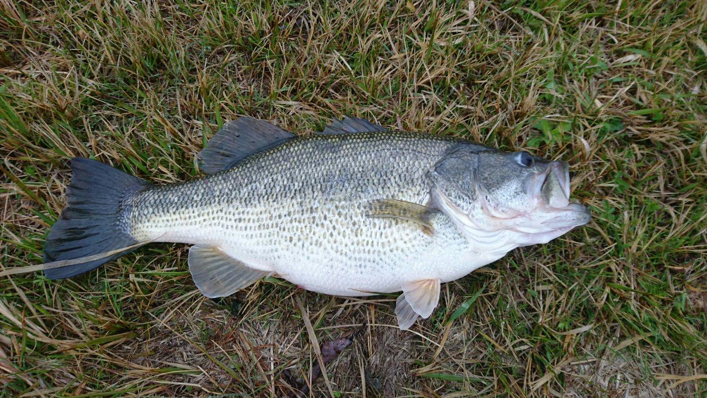 トムさんの投稿画像,写っている魚はブラックバス