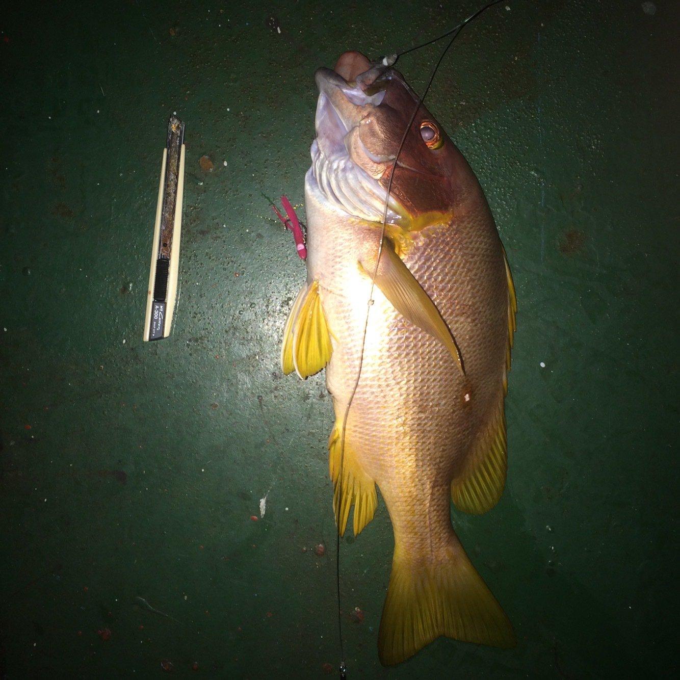 Kennyさんの投稿画像,写っている魚はフエフキダイ