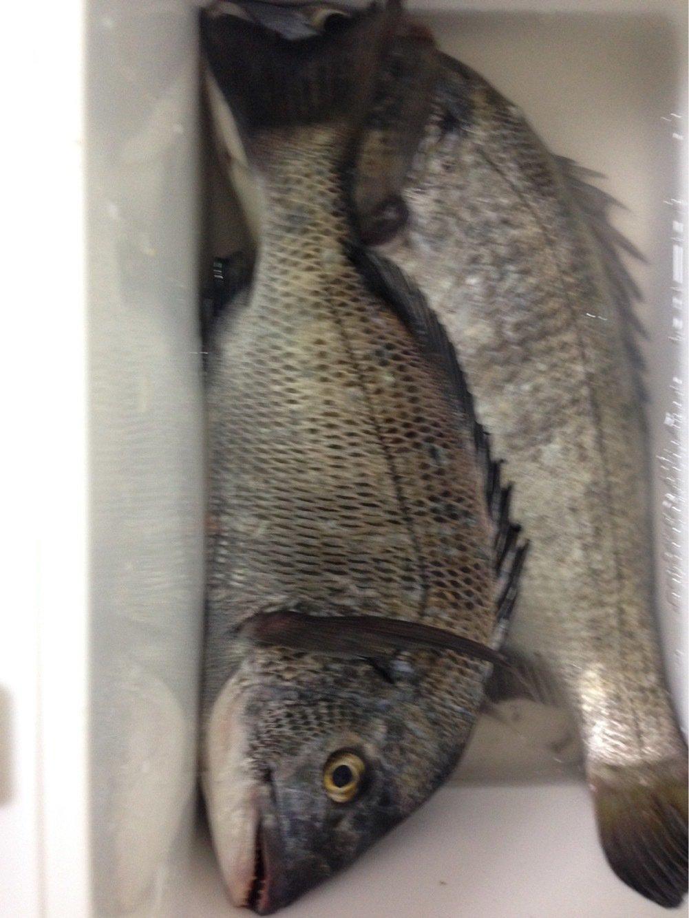 たくやさんの投稿画像,写っている魚はクロダイ