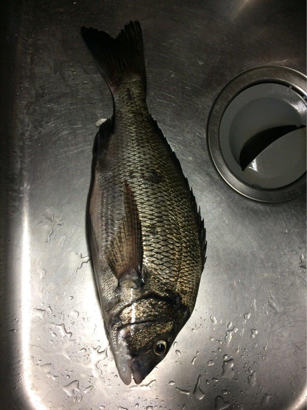 まらかすさんの投稿画像,写っている魚はクロダイ