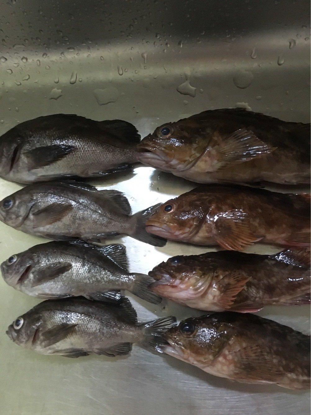 てつさんの投稿画像,写っている魚はメバル