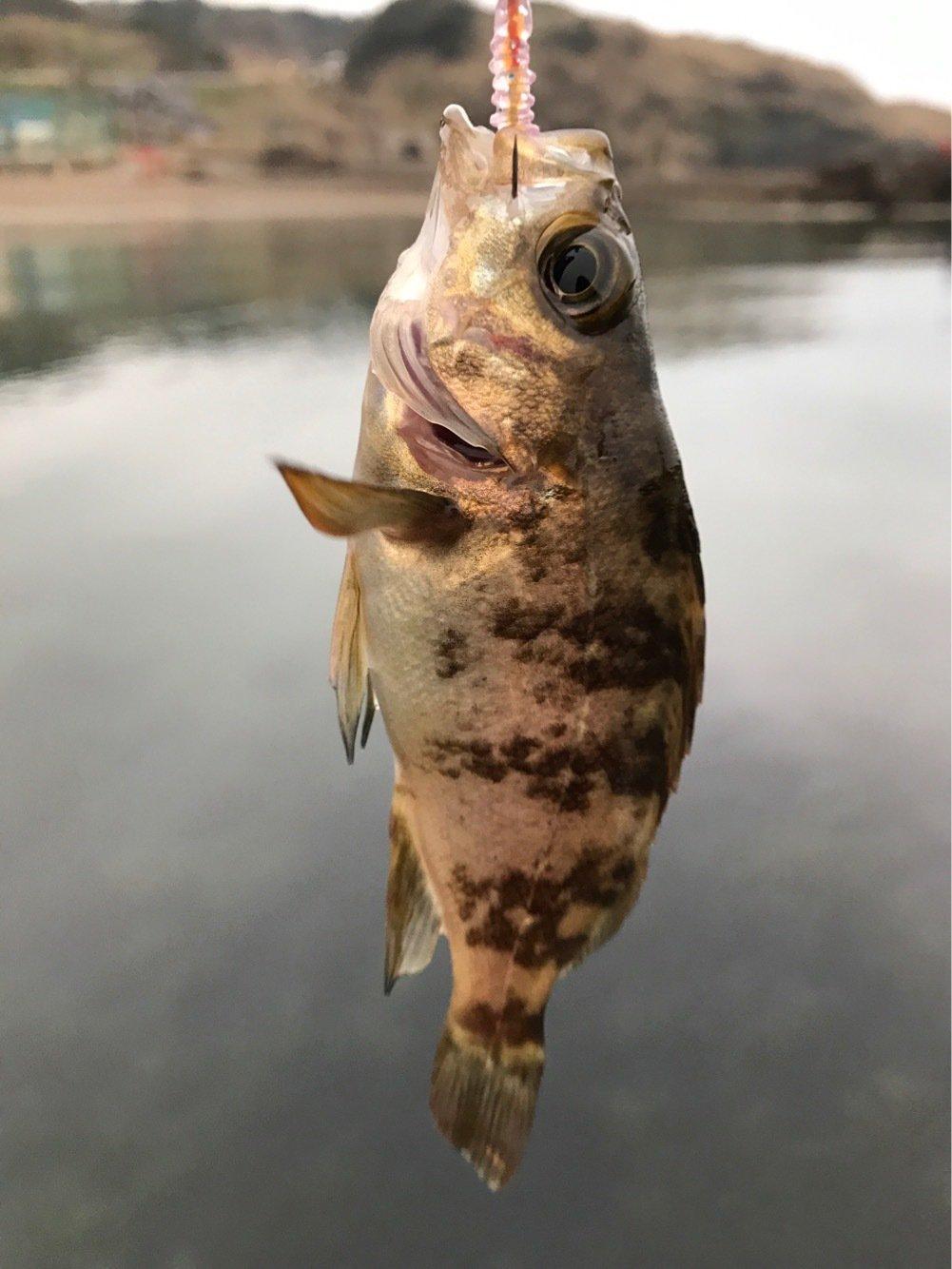 オメガΩさんの投稿画像,写っている魚はメバル