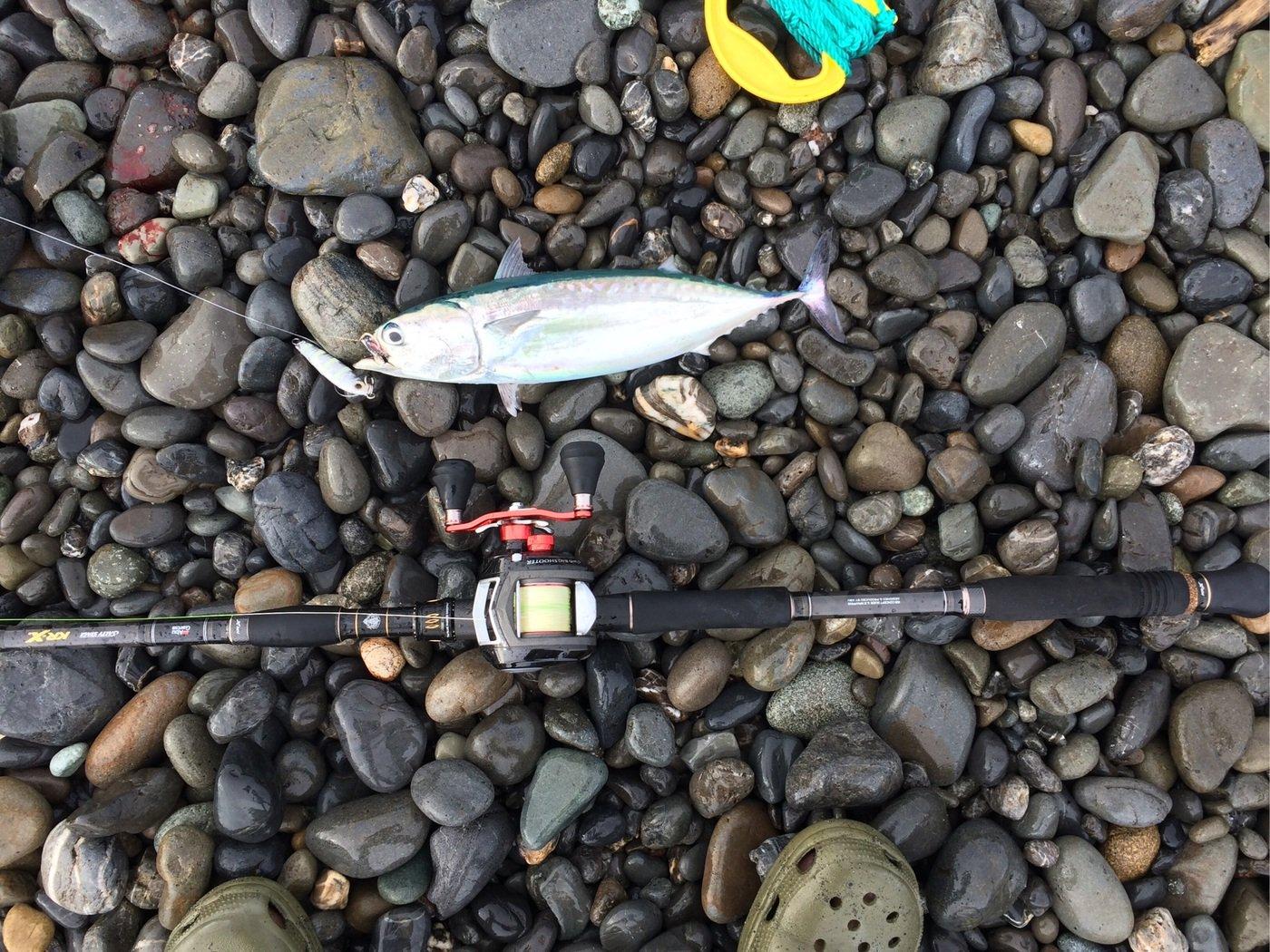 エンドウさんの投稿画像,写っている魚はマルソウダ