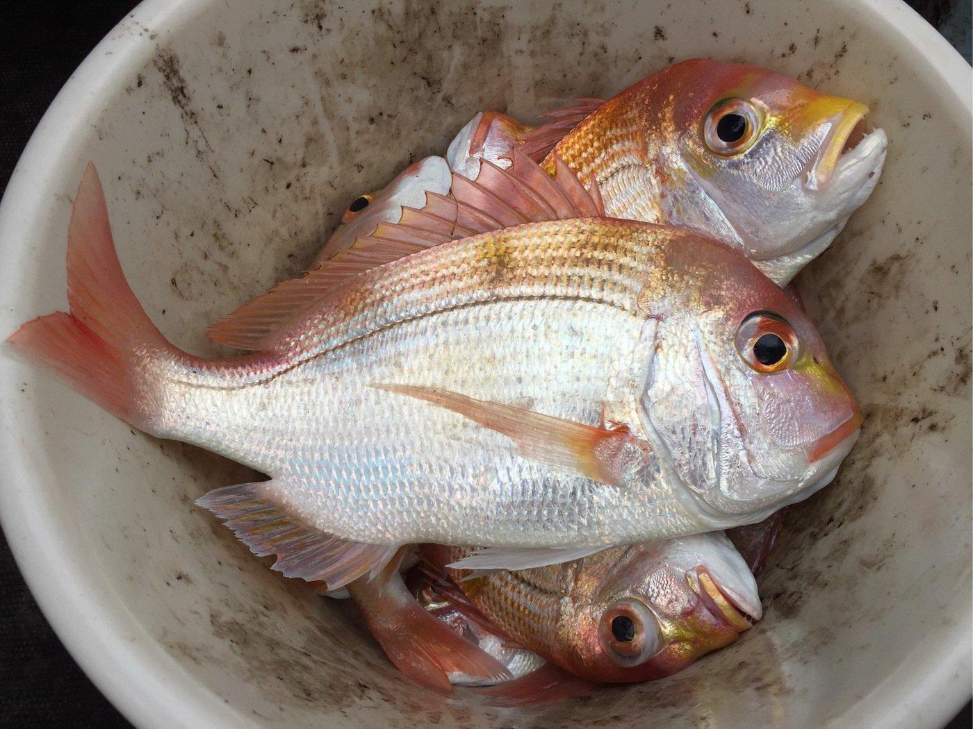 さっとんさんの投稿画像,写っている魚はレンコダイ