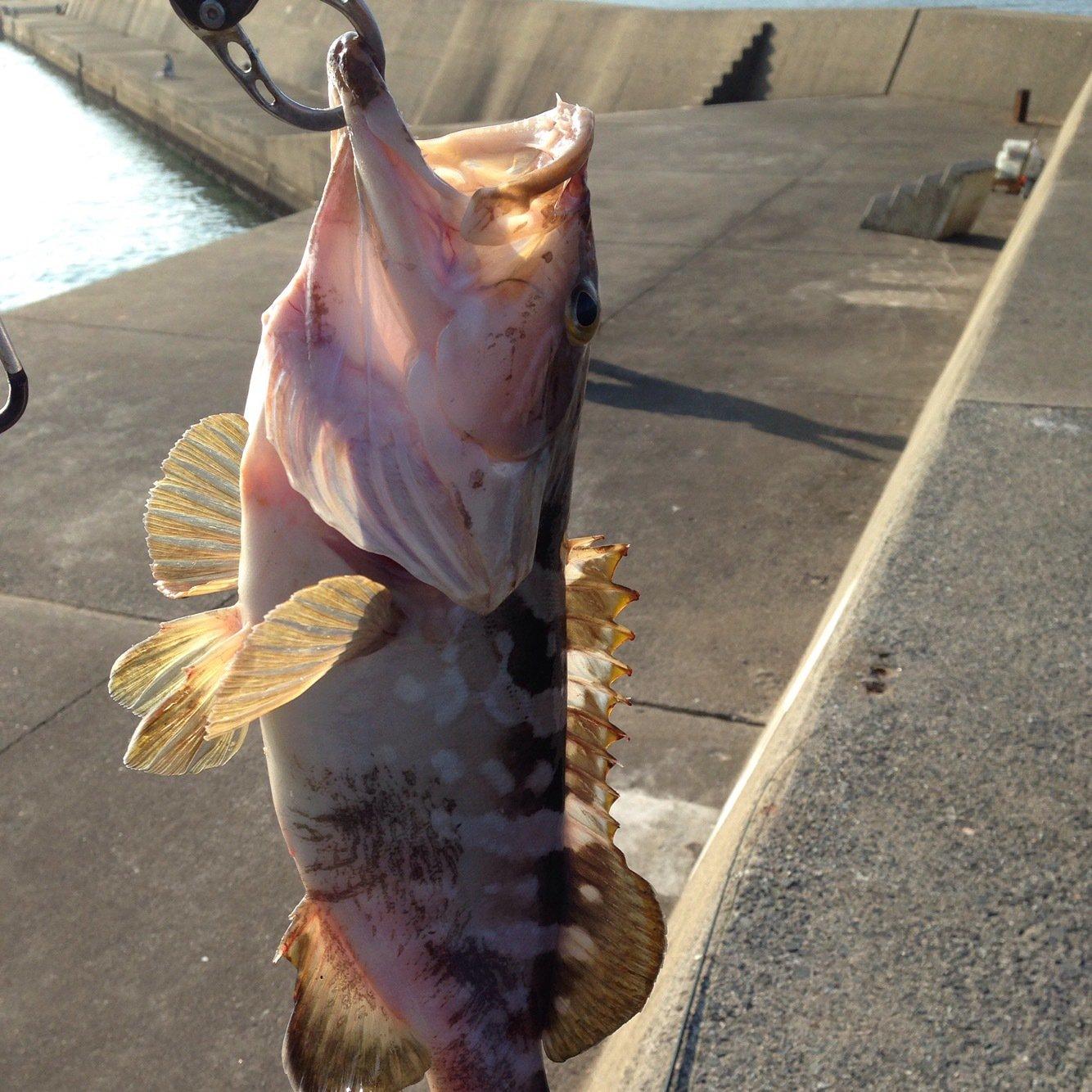 たくやさんの投稿画像,写っている魚はキジハタ