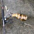 エギング大好きさんの高知県高岡郡での釣果写真