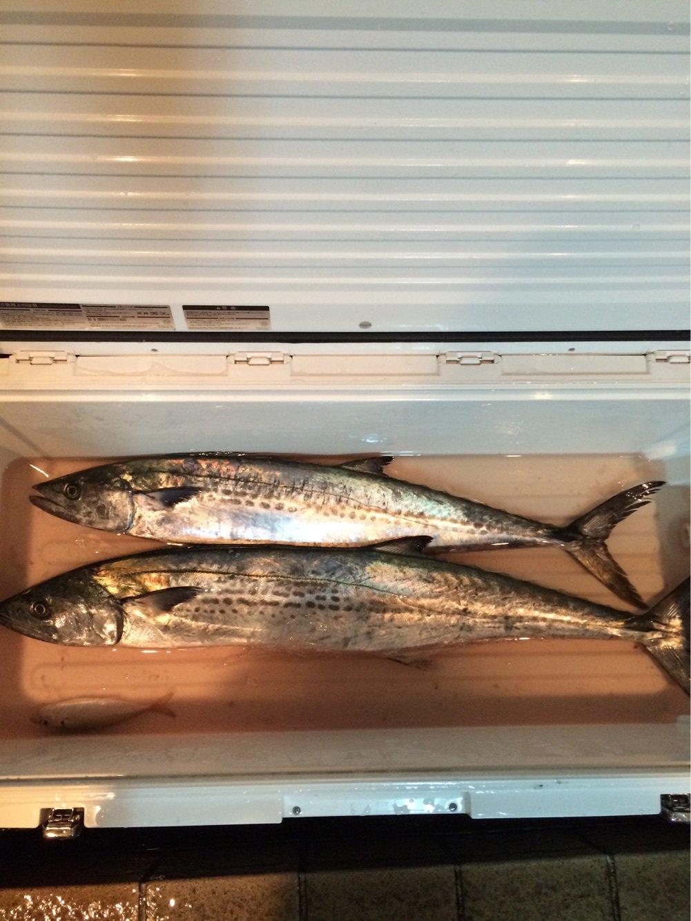 のぶさんの投稿画像,写っている魚はサワラ