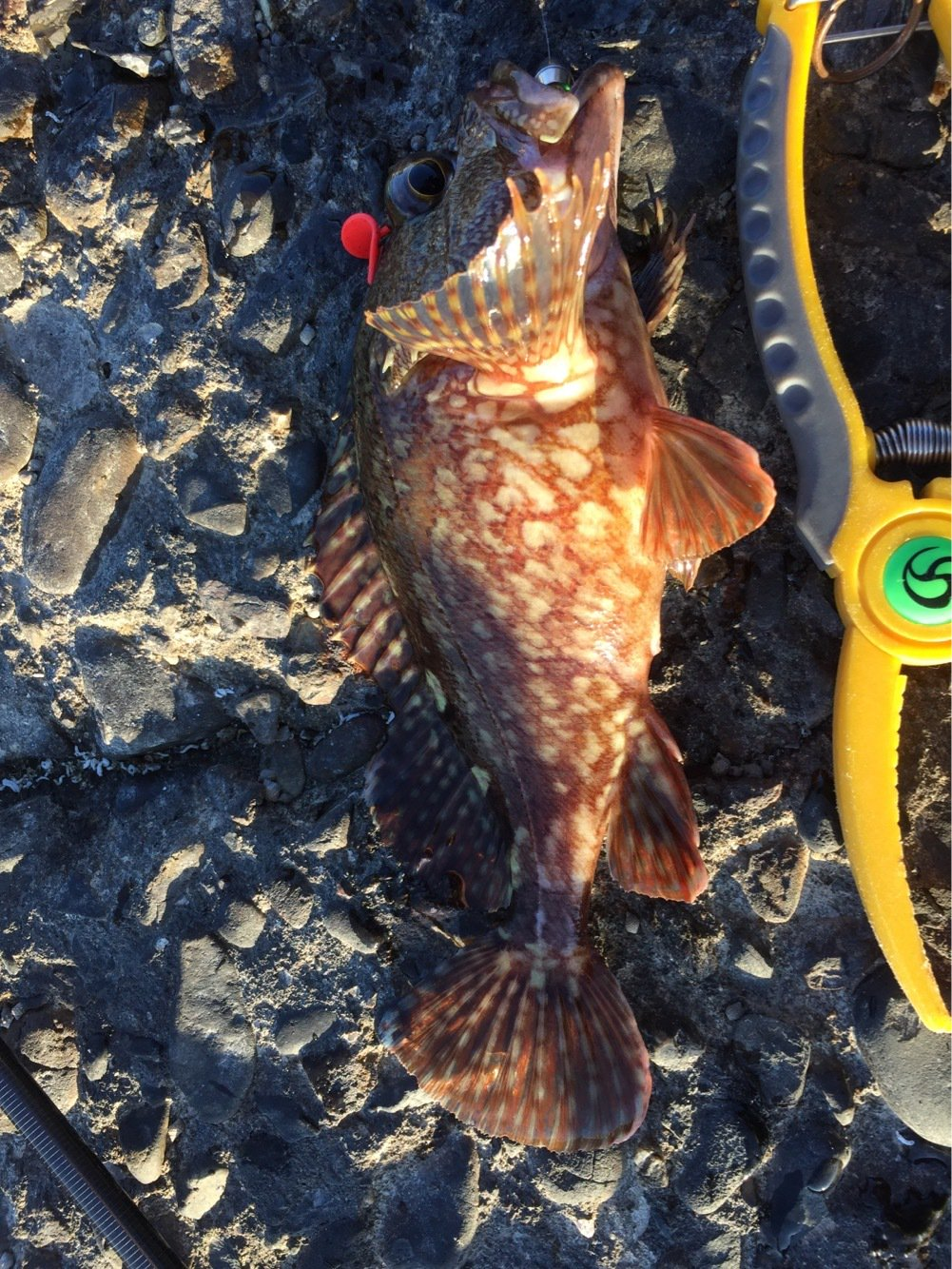 ひろしさんの投稿画像,写っている魚はカサゴ
