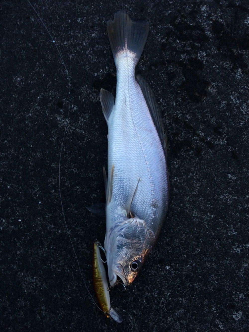 イナバーさんの投稿画像,写っている魚はニベ