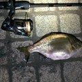 ひろヒロさんの神奈川県でのウミタナゴの釣果写真