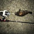 わっさんさんの神奈川県横須賀市でのシロメバルの釣果写真