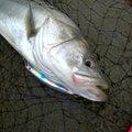 kasuさんの福岡県久留米市でのスズキの釣果写真
