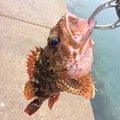 MOKOさんの長崎県松浦市でのカサゴの釣果写真