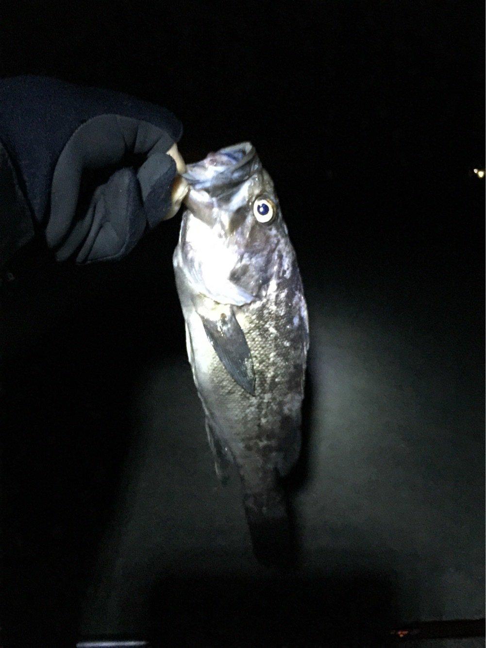 クラゲさんの投稿画像,写っている魚はクロソイ