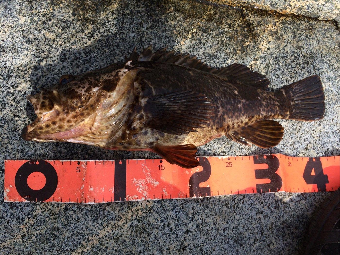 エンドウさんの投稿画像,写っている魚はタケノコメバル