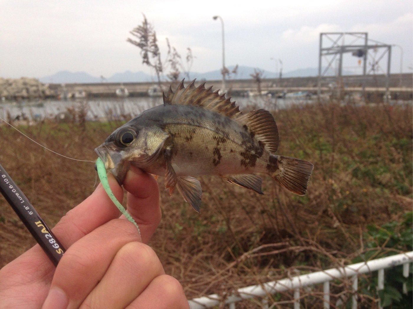おろちさんの投稿画像,写っている魚はメバル