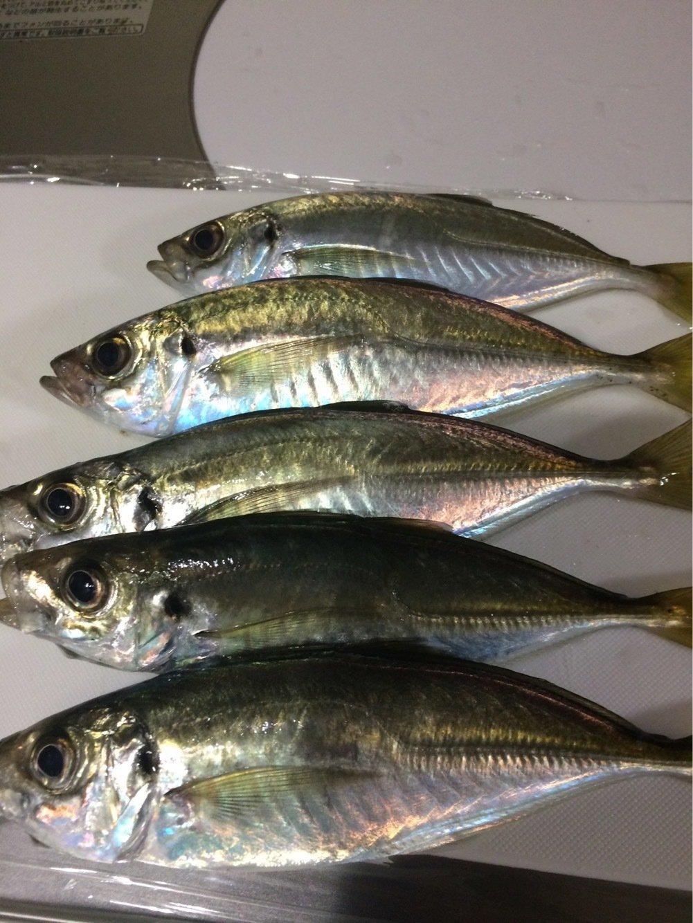 しまださんの投稿画像,写っている魚はアジ