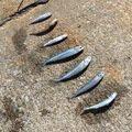 トウゴロウイワシの写真