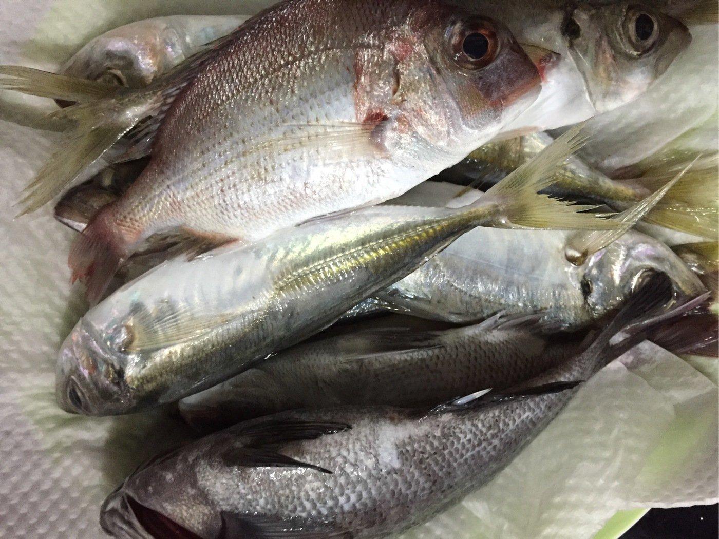 sJimさんの投稿画像,写っている魚はアジ
