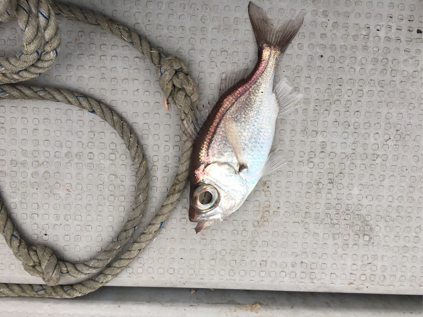 しろいぬさんの投稿画像,写っている魚はナガオオメハタ