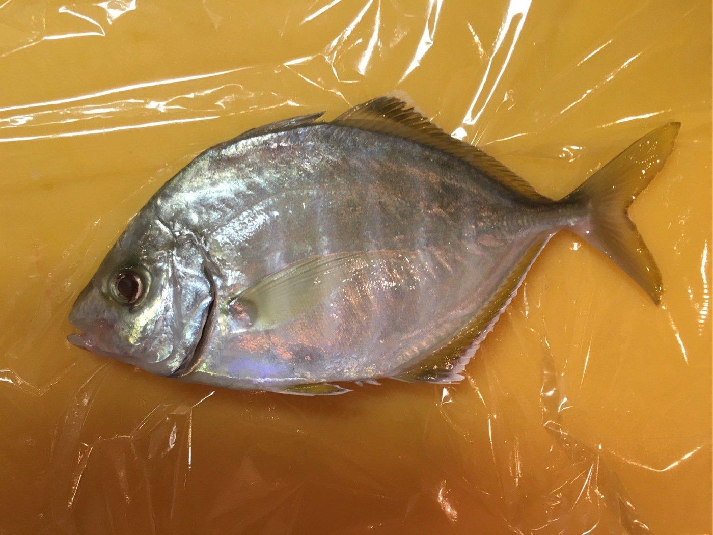 しろいぬさんの投稿画像,写っている魚はカイワリ