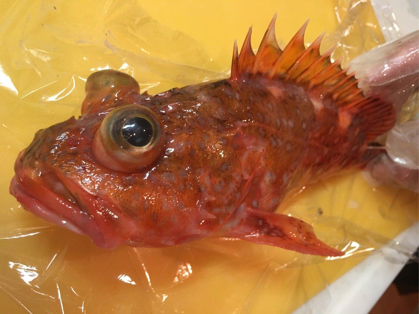しろいぬさんの投稿画像,写っている魚はウッカリカサゴ