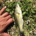 シーアツさんの茨城県下妻市での釣果写真