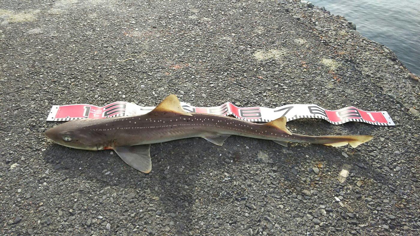 りょうさんの投稿画像,写っている魚はホシザメ