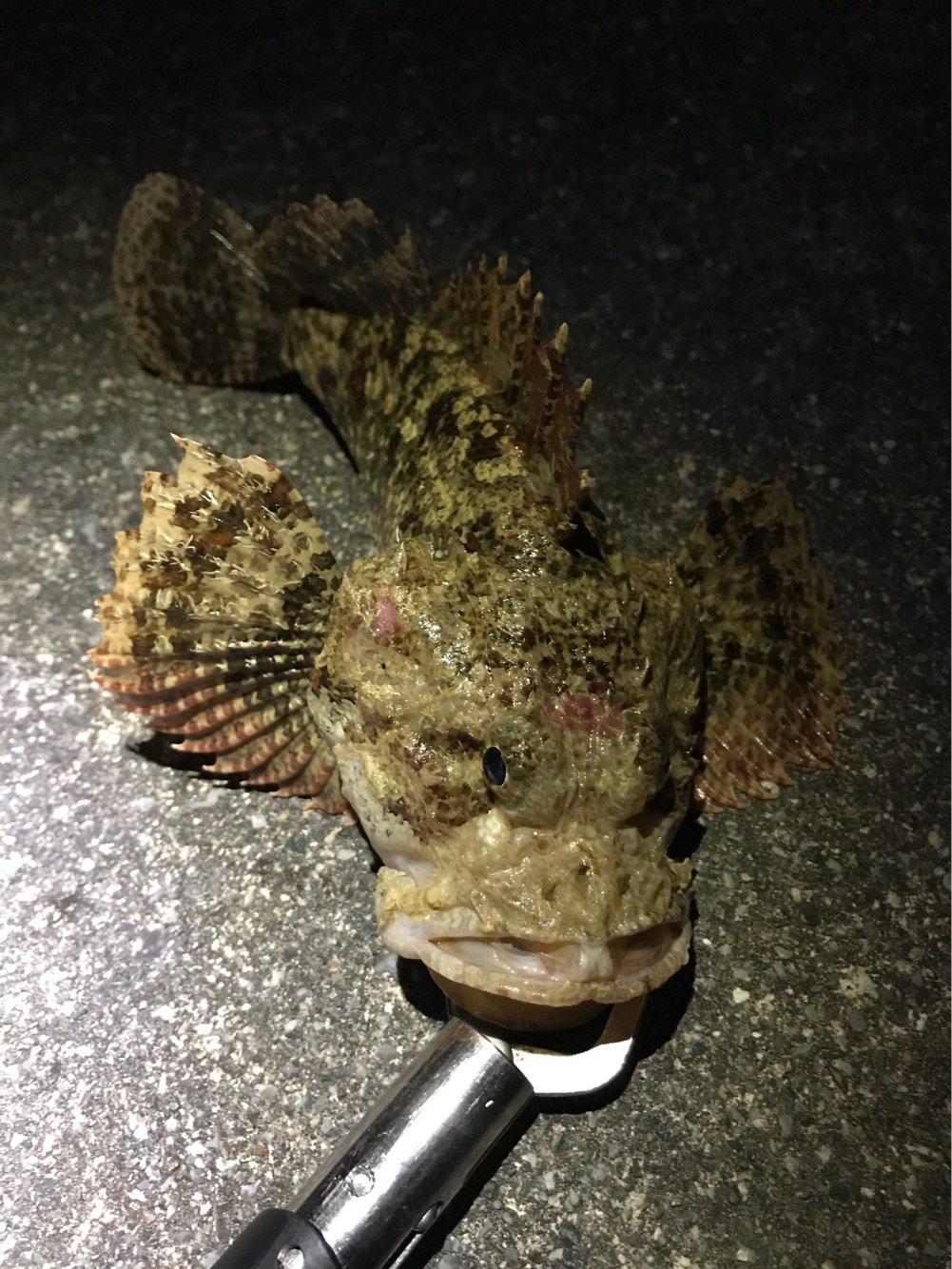 yamachaaanさんの投稿画像,写っている魚はカサゴ