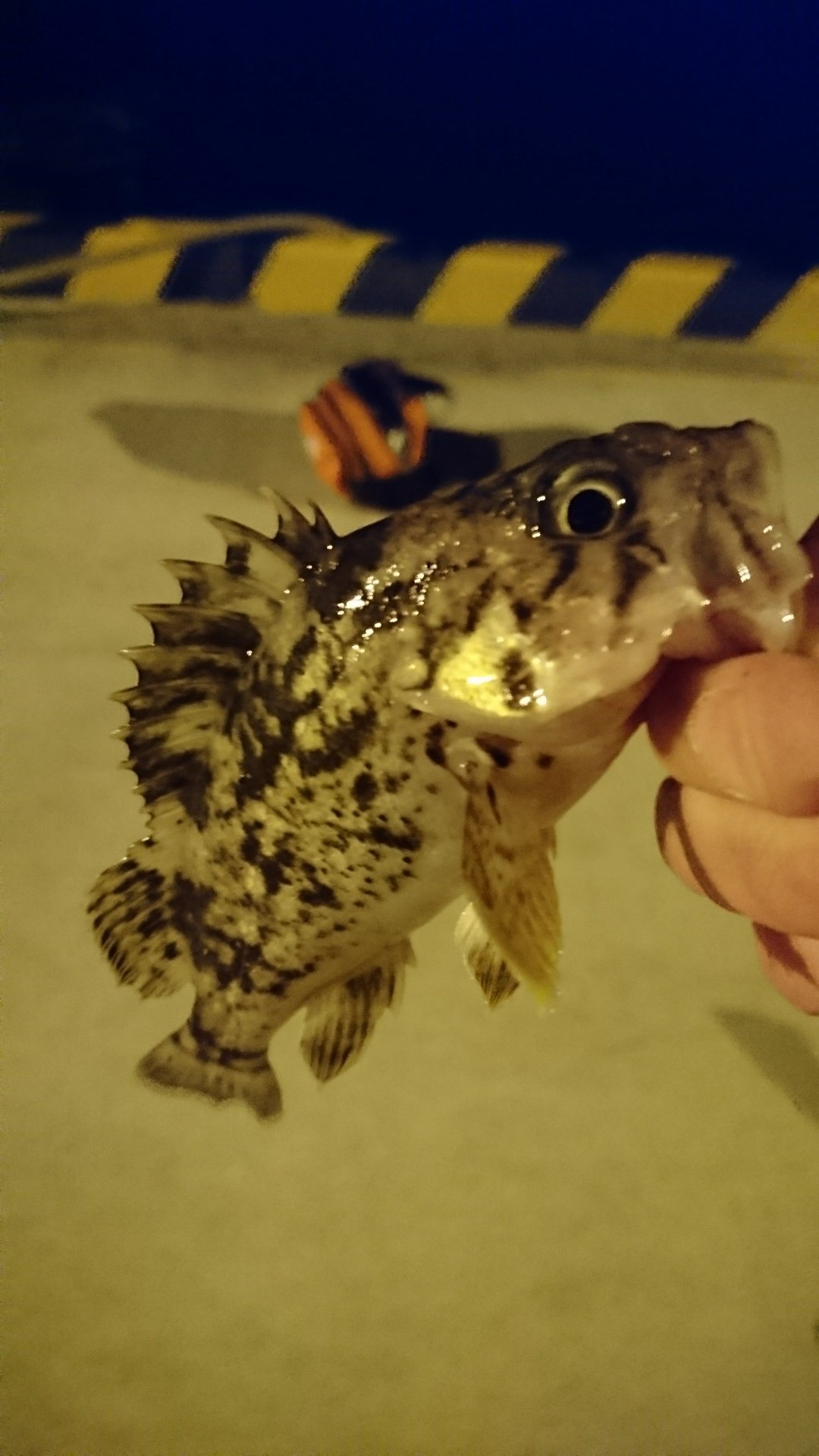 HNTさんの投稿画像,写っている魚はクロソイ