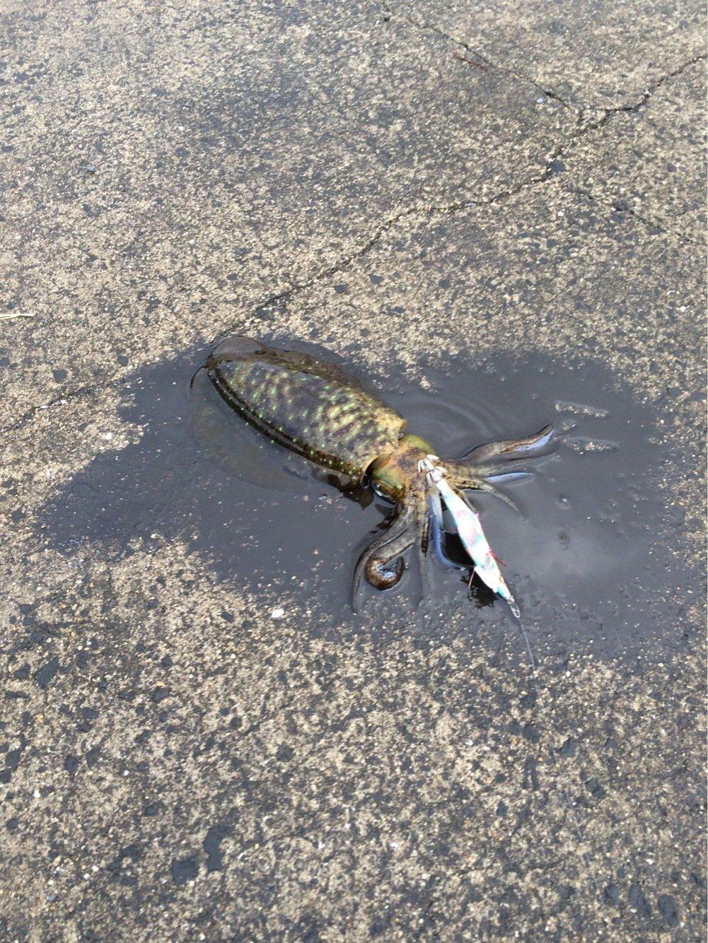 ナギさんの投稿画像,写っている魚はアオリイカ