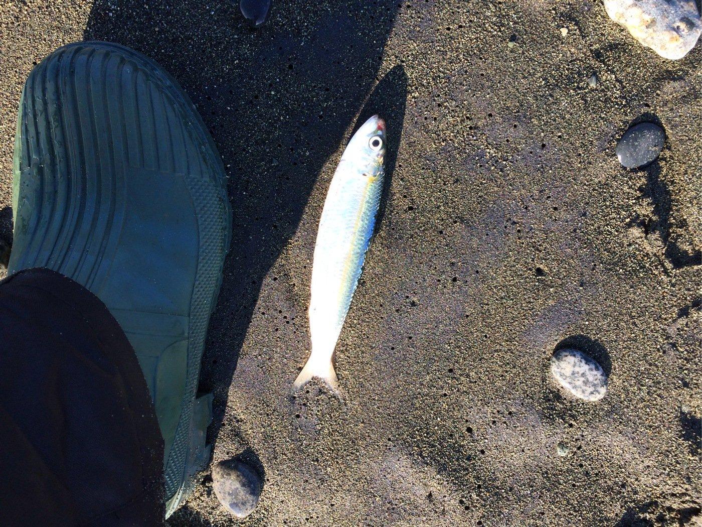 クリさんの投稿画像,写っている魚はシロギス