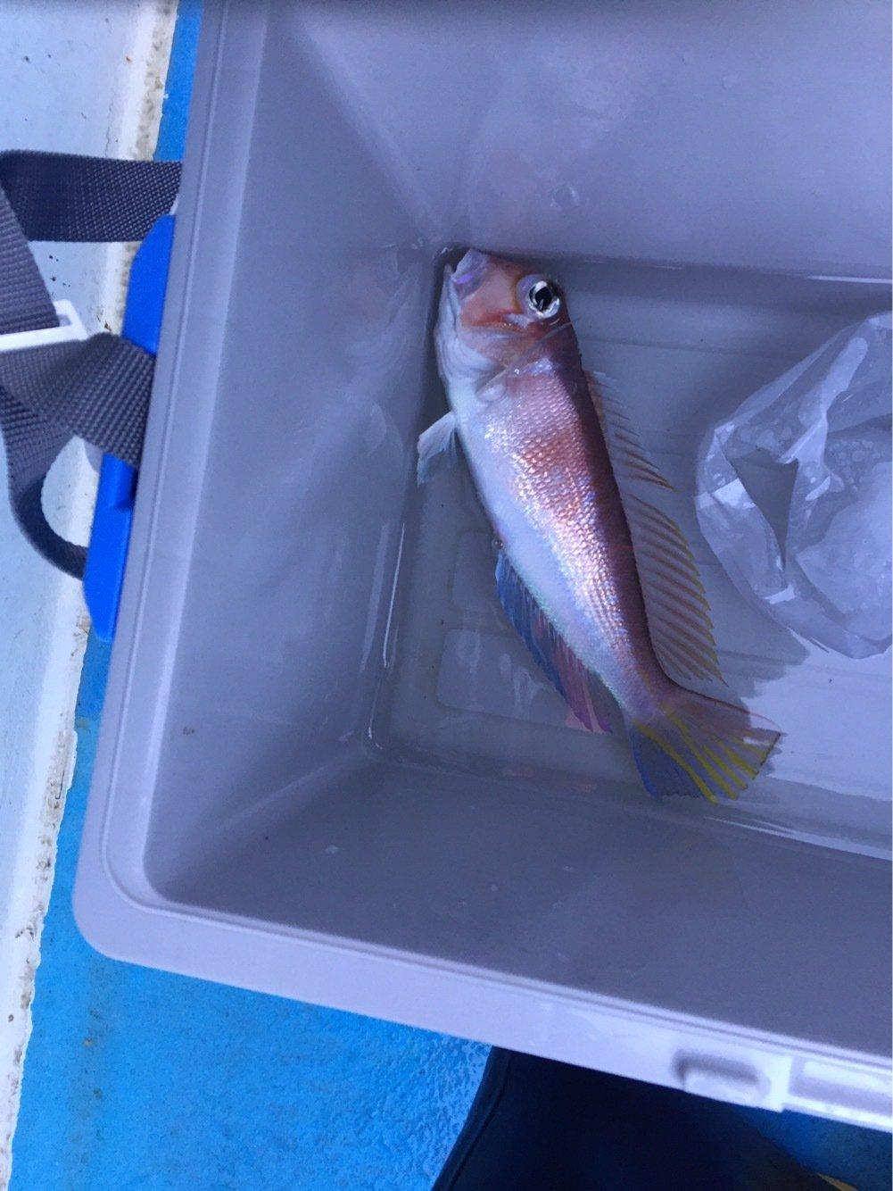 おおはたさんの投稿画像,写っている魚はアマダイ