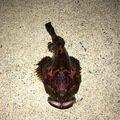 犬男さんのギスカジカの釣果写真