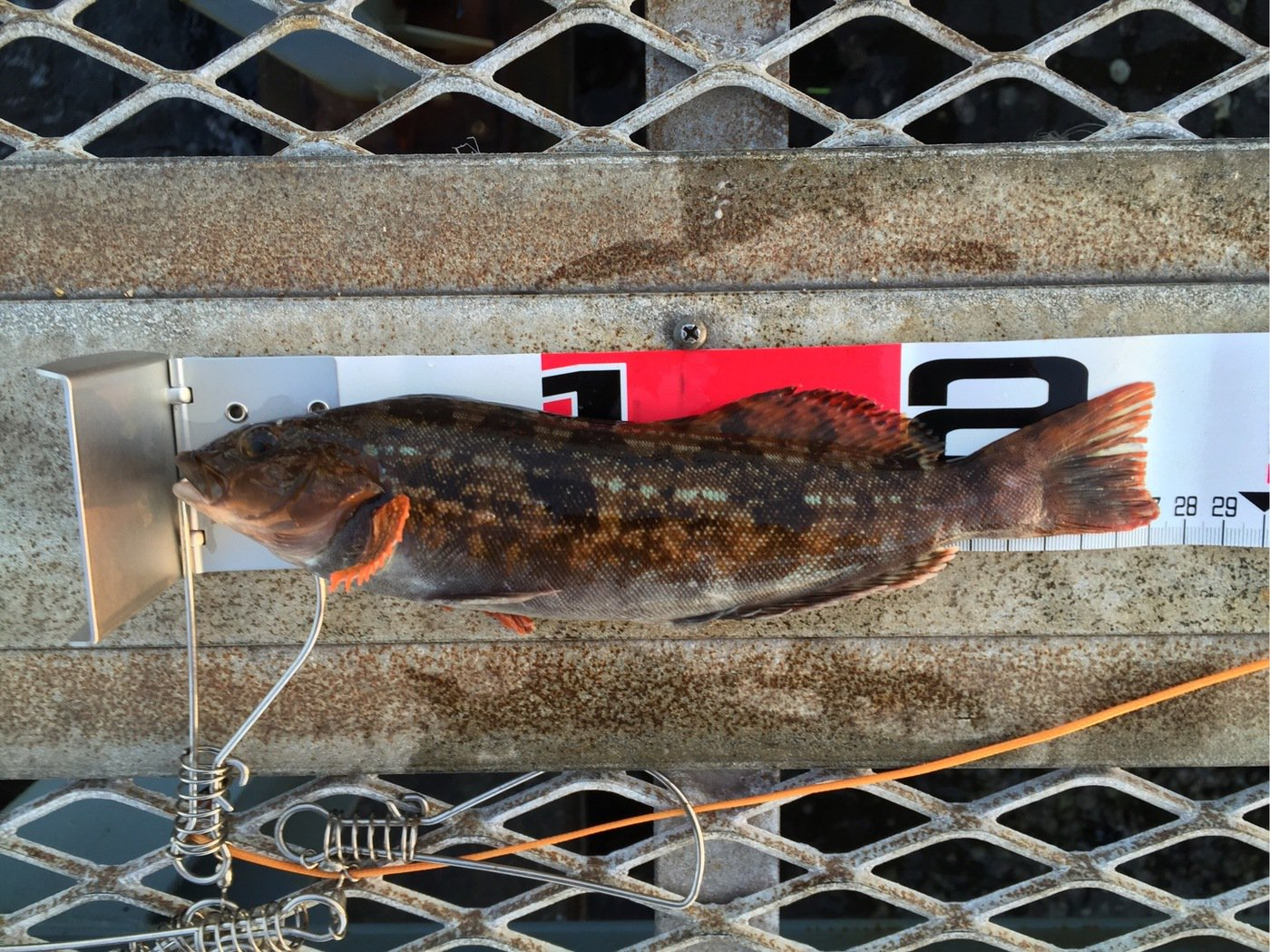さわさんの投稿画像,写っている魚はアイナメ