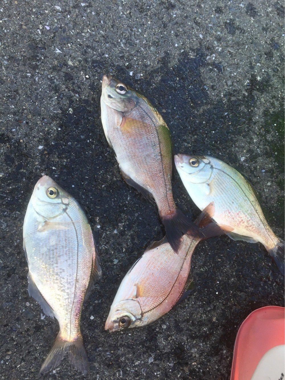 まるたさんの投稿画像,写っている魚はウミタナゴ