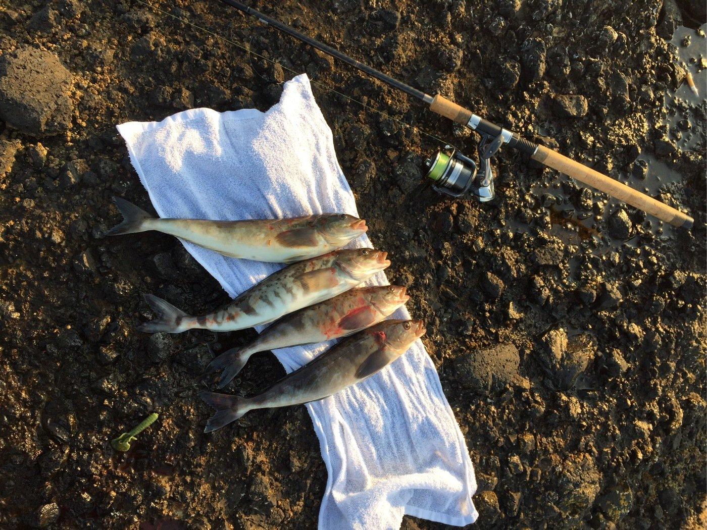 釣りバカさんの投稿画像,写っている魚はホッケ