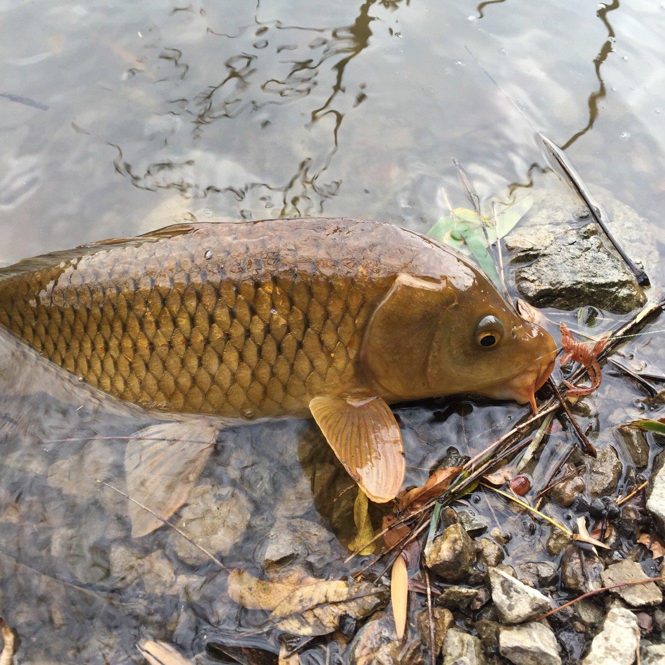 Rさんの投稿画像,写っている魚はコイ