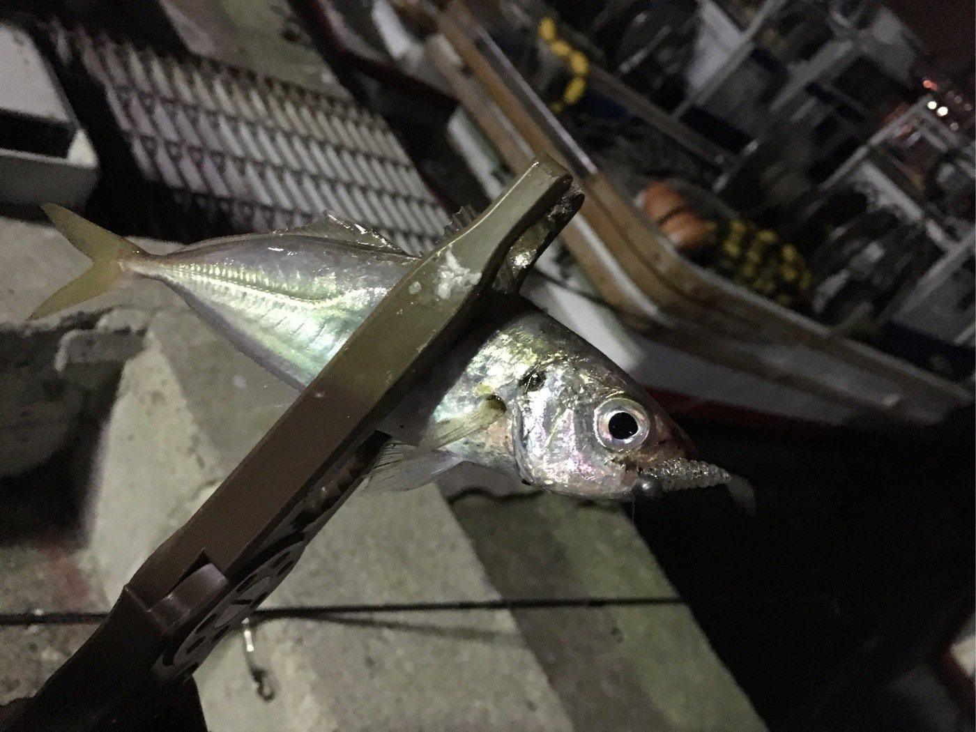 海太郎さんの投稿画像,写っている魚はアジ