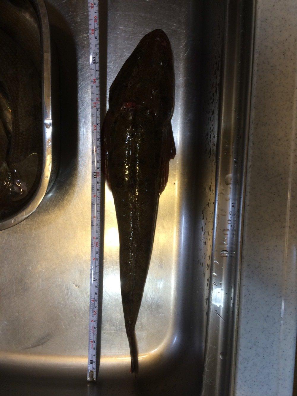 Masato Miyoshi さんの投稿画像,写っている魚はコチ