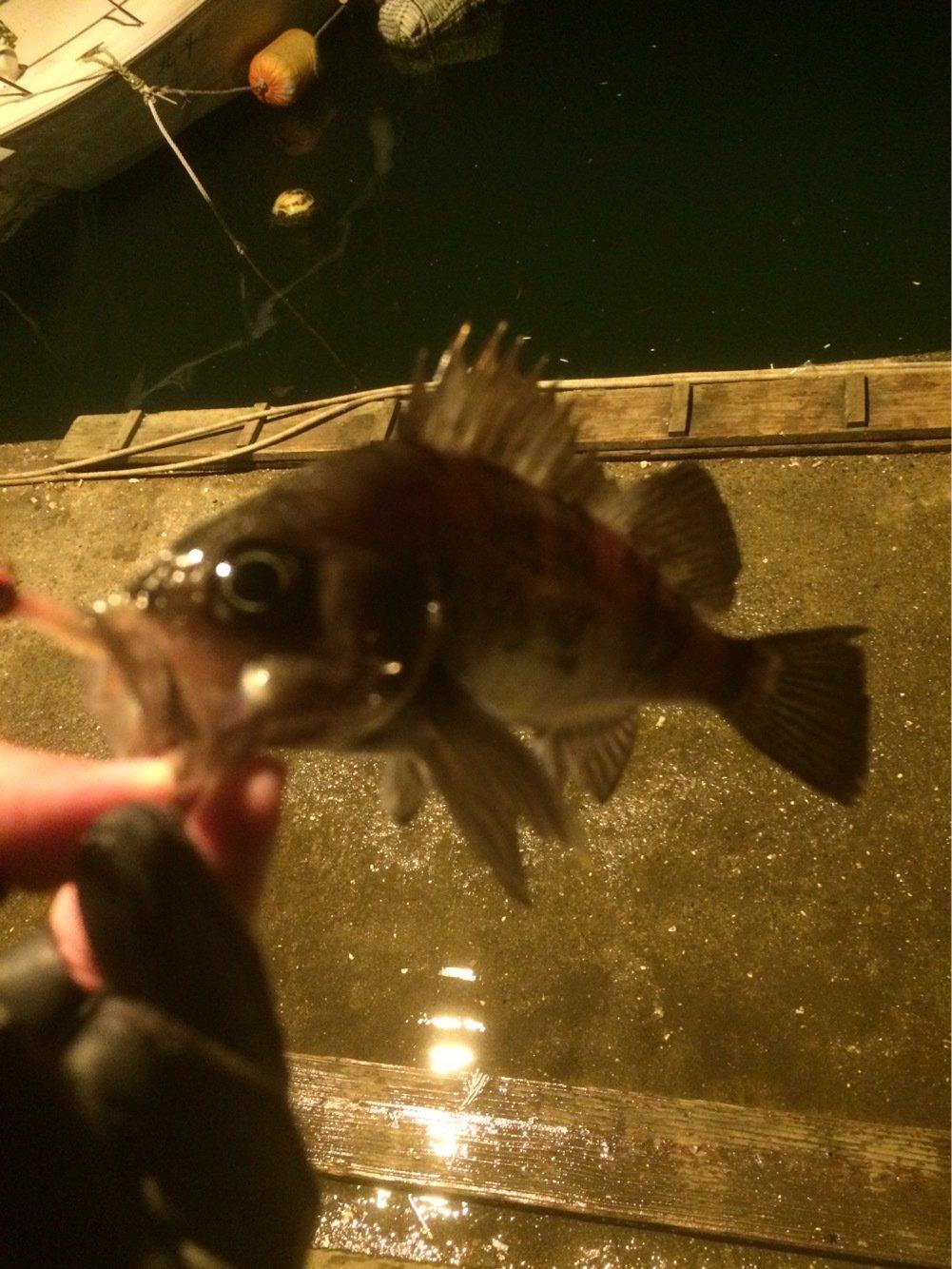 ヤマショウさんの投稿画像,写っている魚はメバル