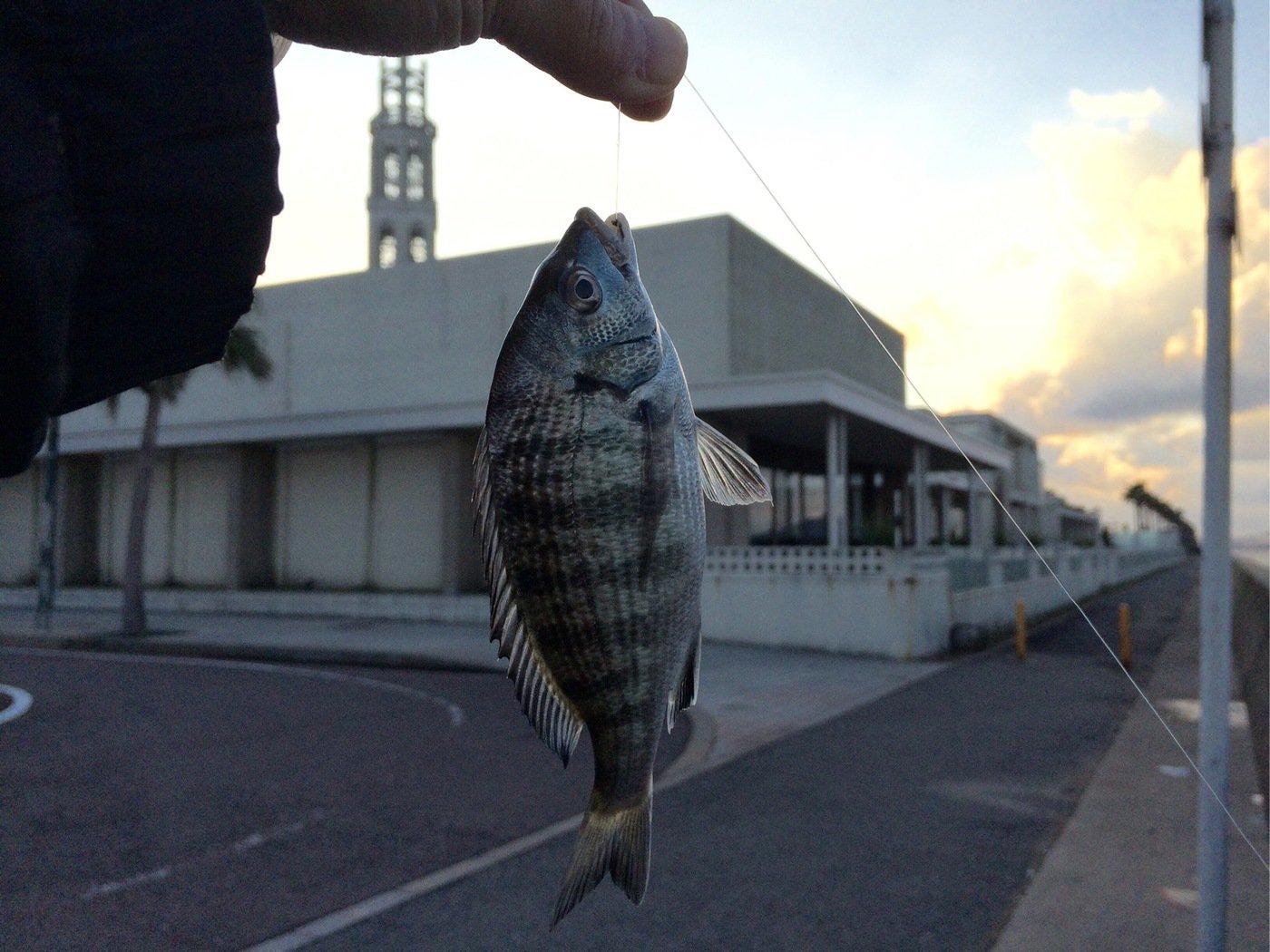 くましんさんの投稿画像,写っている魚はクロダイ