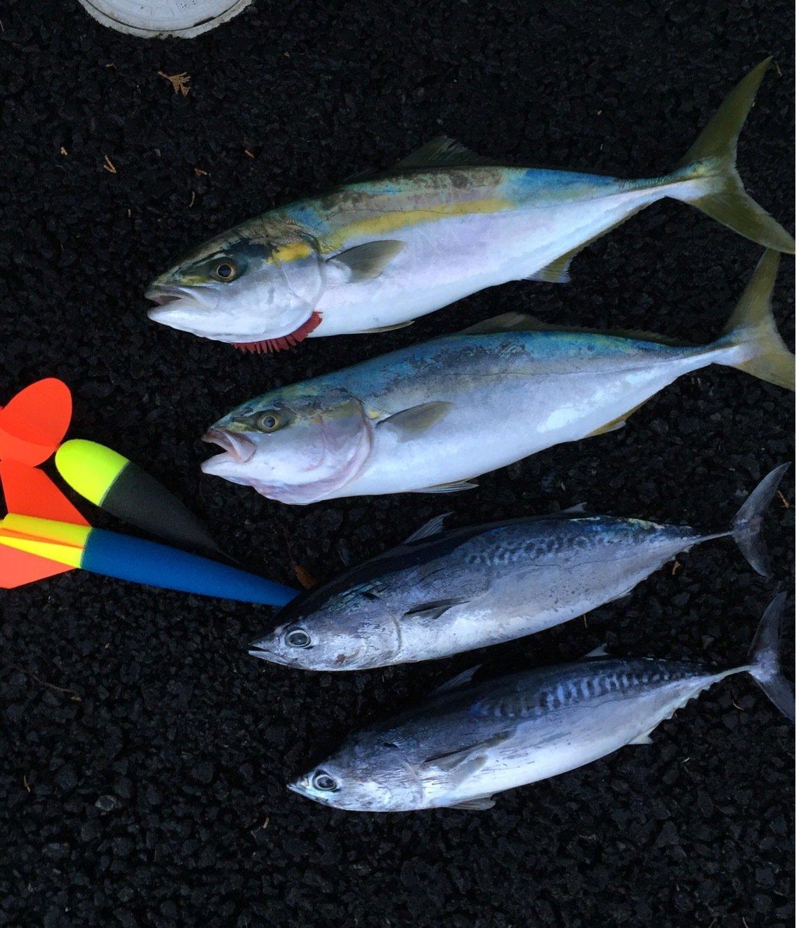 Koujiさんの投稿画像,写っている魚はブリ
