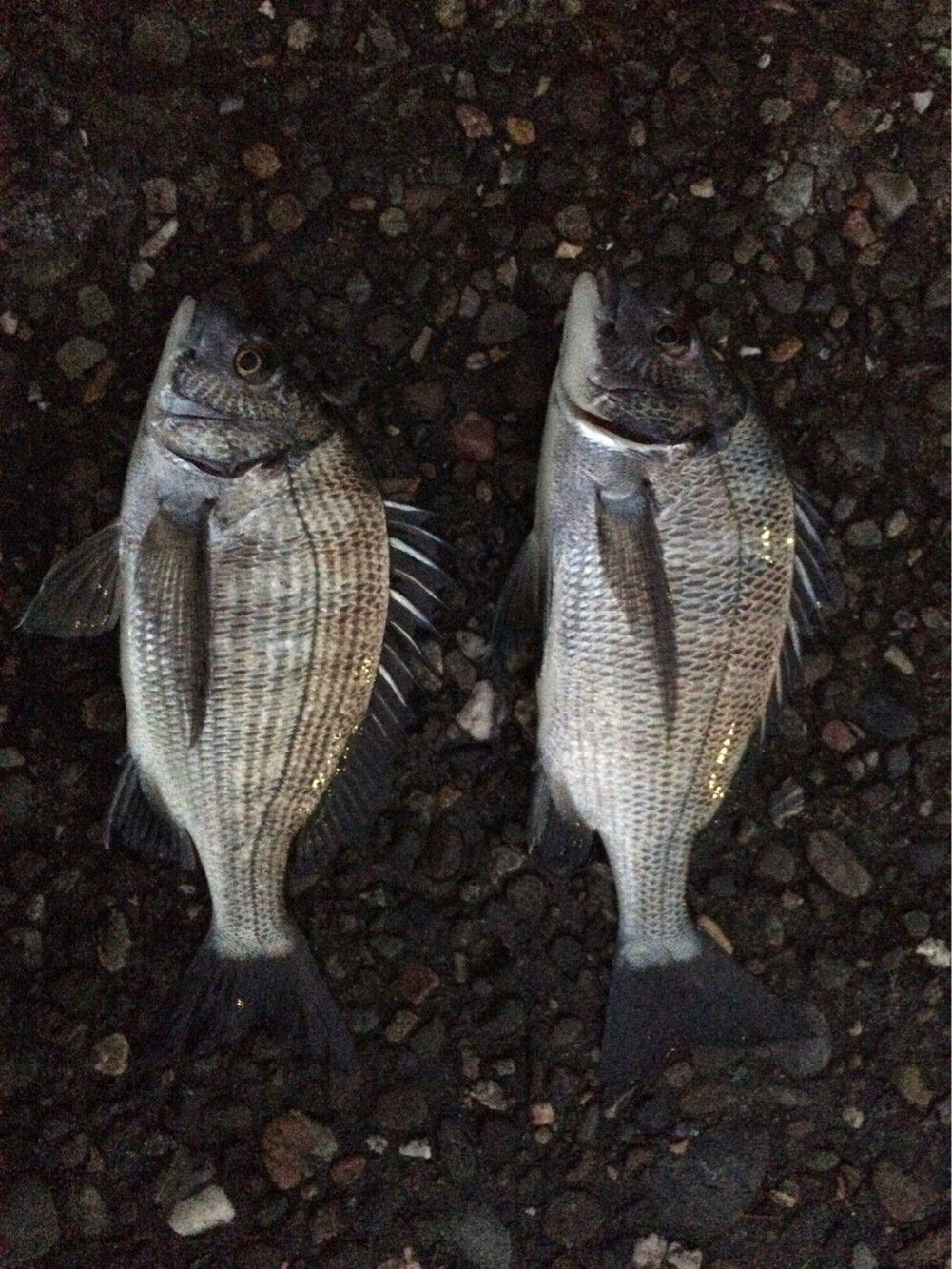 モリ男さんの投稿画像,写っている魚はクロダイ