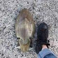 うきさんの山口県長門市でのコウイカの釣果写真