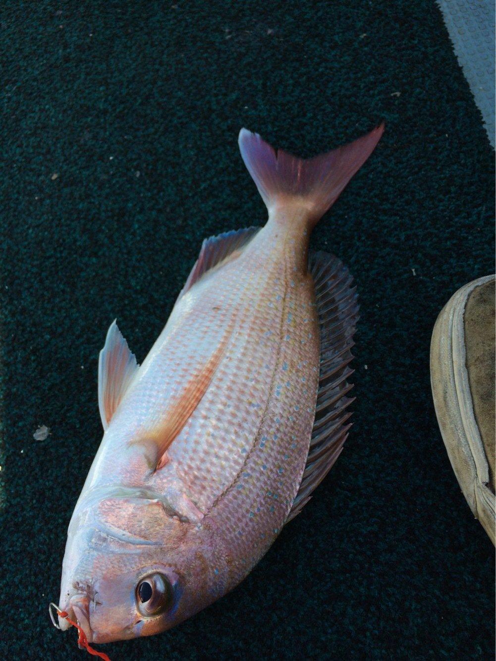 こうたさんの投稿画像,写っている魚はマダイ
