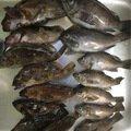 てつさんの兵庫県尼崎市でのメバルの釣果写真